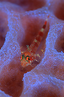Redeye Triplefin?, Enneanectes pectoralis, on Azure vase sponge, Callyspongia plicifera, Saba, Netherlands Antilles, Caribbean Sea, Atlantic, Atlantic