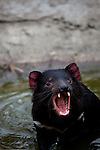 Tango, a captive Tasmanian Devil performs a fear gape-yawn as he bathes in a water pool in an enclosure at Taroona, outside Hobart, part of a government insurance programme against the extinction of the species in the wild by Devil Facial Tumour Disease, a contagious cancer that causes the animals to starve to death... The cancer, one of just a few known to be contagious, is only becoming understood by scientists, but having spread rapidly through the population, with the devil listed as endangered by the IUCN. In December 2009, it was announced that the disease may be related a peripheral nerve cell, called the Schwann cell, which has led some hopes for preserving the devil, at least in terms of quarantine insurance populations.