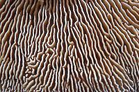 birch mazegill<br /> Lenzites betulinus