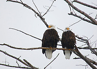 A PAIR OF BALD EAGLES ARE PERCHED ON A TREE IN YELLOWSTONE NATIONAL PARK,WYOMING
