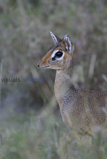 Dikdik alert and hiding in savanna vegetation ,Madoqua, Tanzania, Africa.