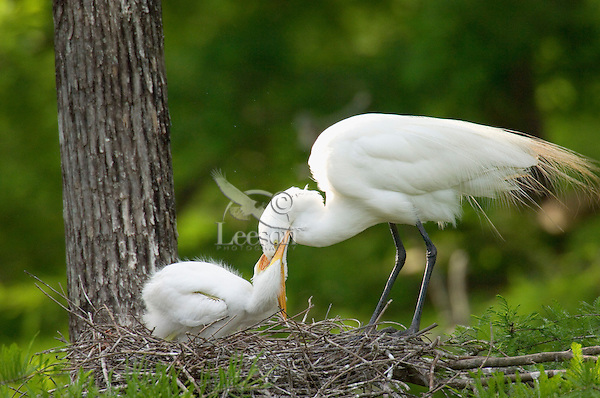Great or Common Egret's nest--young attempting to stimulate adult into regurgitate food.  Southern U.S., May.