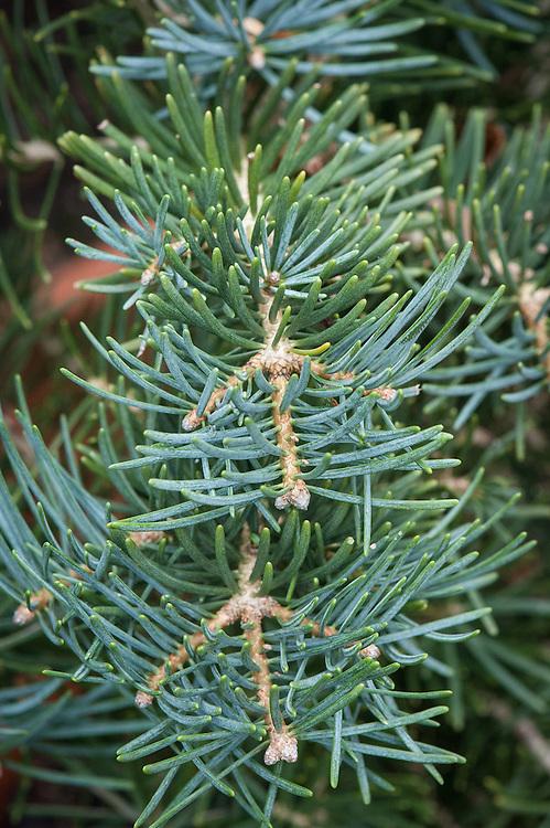 Abies Concolor Compacta Alan Buckingham