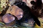 Gymnothorax thrysoideus, White-eye moray, Ambon, Indonesia