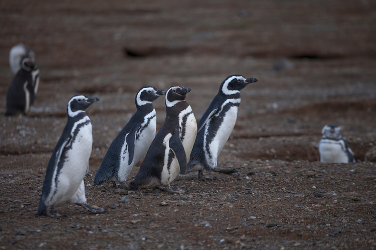 These Magellanic penguins parade across Magdalena Island on their way to the ocean water