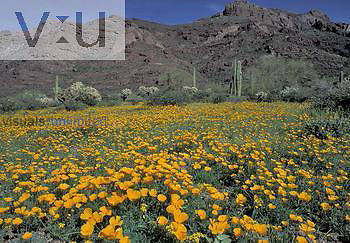 Sonoran Desert bloom, especially Mexican Gold Poppy ,Eschscholtzia mexicana,, Arizona, USA.