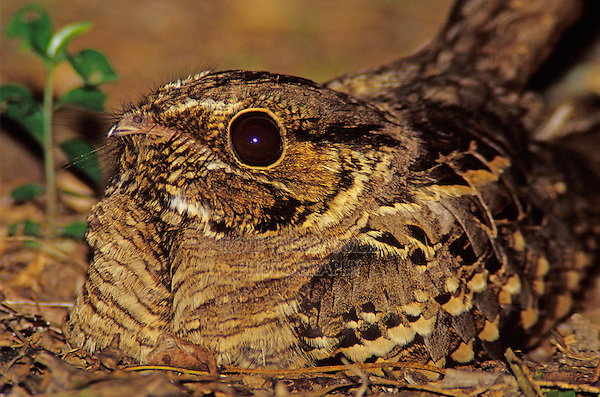 Common Pauraque, Nyctidromus albicollis,adult at night on nest, Cameron County, Rio Grande Valley, Texas, USA