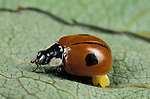 2 Spot Ladybird, Adalia bipunctata, adult with eggs, yellow, red with black spots, two.United Kingdom....