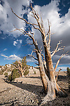Patriarch Grove at 11,000 feet at the bristlecone pine forest in the White Mountains of Inyo County, Calif.