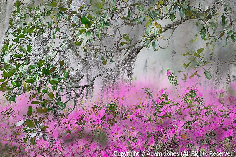 Digital Composite of Azaleas and magnolia tree branch, Charleston, South Carolina