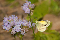 390230001 a wild dainty sulphur nathalis iole perches on a flower at  the naba site in mission hidalgo county lower rio grande valley texas united states
