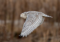 Snowy owl flying over the tidelands of Boundary Bay.<br /> Near Ladner, British Columbia, Canada<br /> 1/10/12