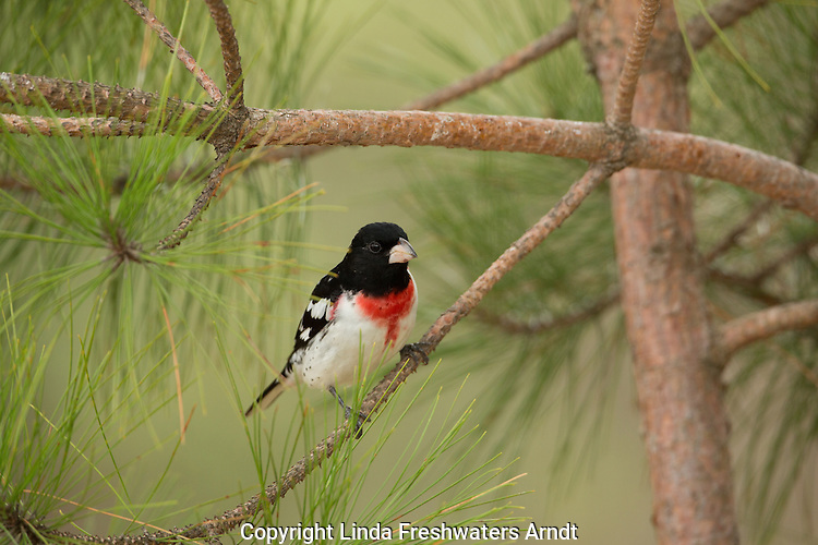 Male red-breasted grosbeak in a red pine tree