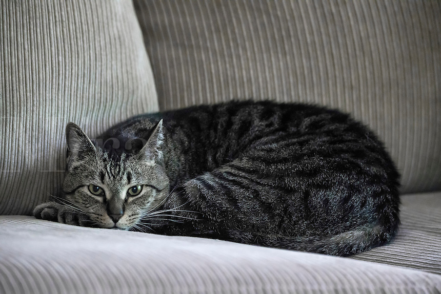 Tabby cat relaxing on a couch.
