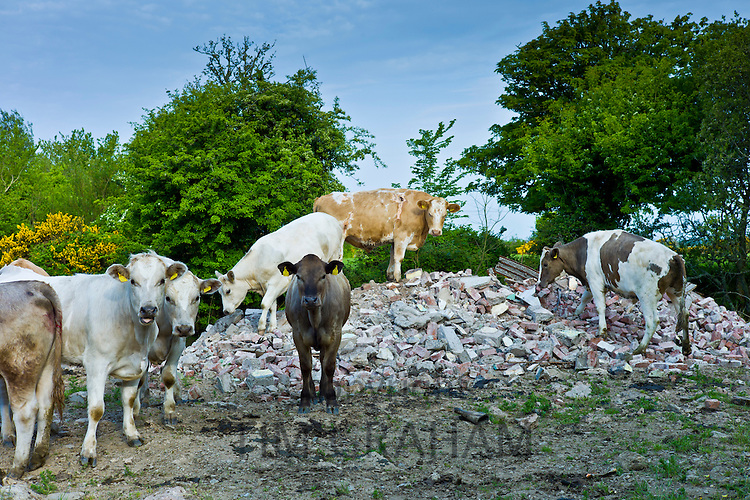 Irish cattle climb on builders' rubble near Tagoat, County Rosslare, Ireland
