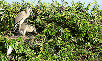 """Two Blue Herons preparing a nest and apparently """"discussing"""" their intentions. Photographed at Wakodahatchee Wetlands, Delray Beach, Florida."""