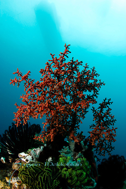 Red Soft Coral , with traditional fishing boatin background, Angel's Window, Lembeh Straits, Sulawesi Sea, Indonesia, Amazing Underwater Photography