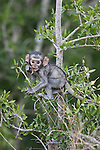 Vervet monkey, Cercopithecus aethiops, baby, Kruger national park, South Africa