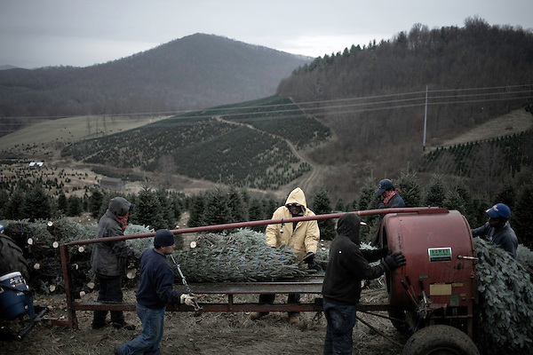 November 24, 2008. Ashe County, NC.. Guest workers, from Guatemala and Mexico, bale, ie wrap, the cut trees and set them out for the tractor that will haul them down the steep hillside. Most of the cutting and hauling is done by hand until a rough road can be reached. . Guest workers make up a vital part of the Christmas tree industry. During the busiest part of the season, the weeks leading up to Thanksgiving, they arrive in from other areas of the country to make wreathes,cut, bale, and load trees. Many local workers are year round employees of the large farms, but without the foreign guest workers, the industry could not provide the numbers of tree that the country requires.