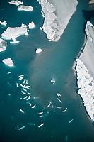beluga whale, or white whale, Delphinapterus leucas, pod, Northwest Territories, Canada, Arctic Ocean