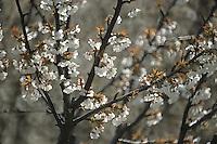 Europe/France/Languedoc-Roussillon/30/Gard/Environs de Remoulins: Cerisiers en fleurs au début du printemps