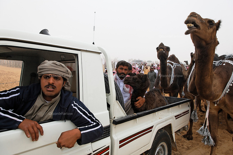 Some competitors use camel calves to lure antsy mothers to the gate. Once inside the parade grounds, a turn before the judges marks the end of a long walk for many of the camels, from Oman, Qatar, and distant quarters of Saudi Arabia.