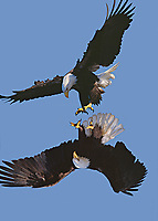 Bald Eagles mating behavior
