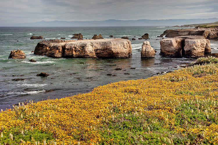 Wildflowers grace the sea cliffs at Pt. Bucheon, central California coast