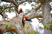 scarlet macaw, Ara macao, pair, standing at their nest in tree cavity, Los Lianos, Venezuela, South America