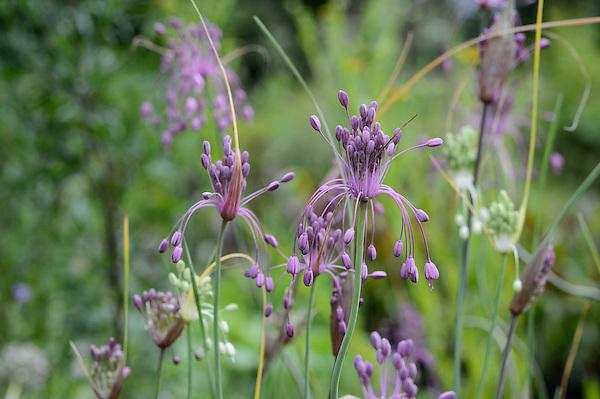 Allium carinatum subsp. pulchellum & Allium carinatum subsp. pulchellum 'Album'
