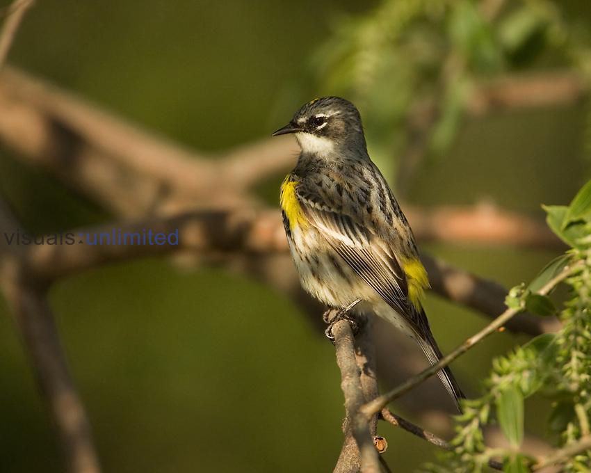 Yellow-rumped Warbler ,Dendroica coronata,. USA.