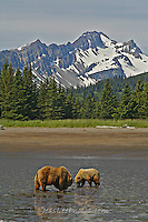 Alaska Brown Bear, Coastal Grizzly Cubs playing,grizzly, Grizzly Bear or brown bear alaska Alaska Brown bears also known as Costal Grizzlies or grizzly bears
