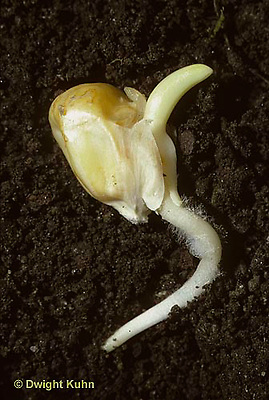 CR01-004c  Corn - seed germinating, soil profile, showing root hairs, stem shoot
