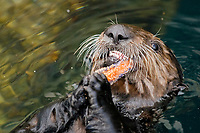 Southern sea otter, Enhydra lutris nereis, Feeding on sea star, Monterey, California, USA, Pacific Ocean, national marine sanctuary, endangered species