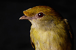 The critically endangered Araripe Manakin (female pictured here) was discovered in 1996 and is one of the world's most striking songbirds. It inhabits an extremely small range in northeast Brazil on the slopes of the arid Araripe Plateau. Less than 1000 individuals remain in 11 square miles of fragmented, second-growth gallery forest surrounding spring-fed streams where they nest. Despite their limited range and numbers there is real hope for this bird and the Brazilian NGO Aquasis, with support from the American Bird Conservancy, is leading conservation efforts.