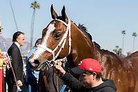 ARCADIA, CA  FEBRUARY 24: #4 Conquest Tsunami, a survivor of the San Luis Rey fire,  after winning the  Daytona Stakes (Grade lll) on February 24, 2018, at Santa Anita Park in Arcadia, CA. (Photo by Casey Phillips/ Eclipse Sportswire/ Getty Images)