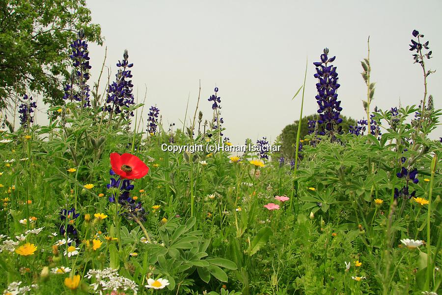 Israel, Menashe Heights, wildflowers near Ein Meholelim