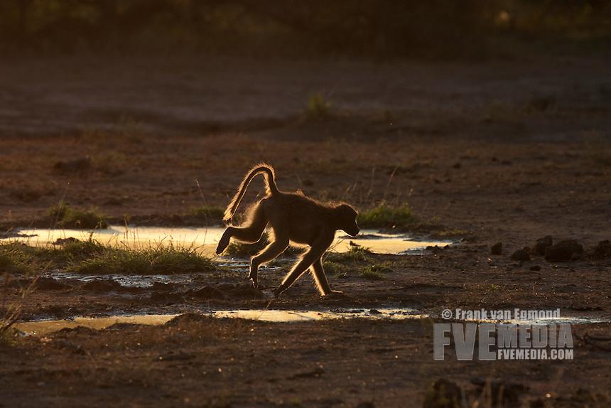 Chacma Baboon (Papio Ursinus)...Leaping, backlit...Mashatu Game Reserve..Tuli block, Botswana..November 2010.