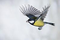 Kohlmeise, Flug, Flugbild, fliegend, mit Vogelfutter im Schnabel, Kohl-Meise, Meise, Meisen, Parus major, Great tit, tit, tits, flight, flying, La Mésange charbonnière