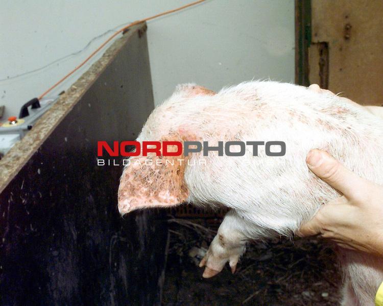 Archivaufnahme Schweinepest in den Landkreisen Vechta und Cloppenburg aus dem Jahre 1998. Keulung von Schweinen, sowie Blutentnahme<br /> Foto &copy; nordphoto<br /> <br /> <br /> <br />  *** Local Caption *** Foto ist honorarpflichtig! zzgl. gesetzl. MwSt.<br />  Belegexemplar erforderlich<br /> Adresse: nordphoto<br /> Georg-Reinke-Strasse 1<br /> 49377 Vechta