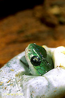 1R04-114z  Smooth Green Snake - young emerging  from egg - Opheodrys vernalis