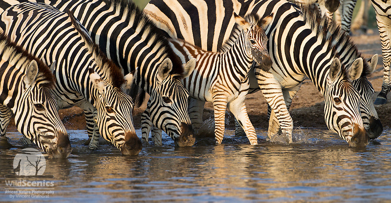 Group of zebras including a foal drinking at a waterhole