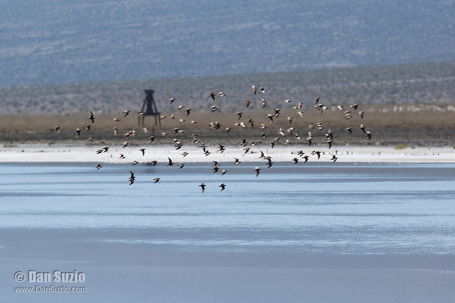 Shorebirds flying over Salt Lake in Saline Valley, Death Valley National Park, California