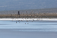 Shorebirds flying over Salt Lake in Saline Valley, Death Valley National Park, California