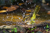 Stripe-throated Bulbul (Pycnonotus finlaysoni) splashes while bathing at a watering hole. (Kaeng Krachan, Thailand)
