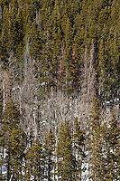 Dead pine trees near the Peak to Peak Highway 72 in Colorado, Wednesday, February 1, 2012. National Forests in Colorado could, under rule making now going on in the Obama administration, have much reduced protections from development than the rest of the nation under the so-called roadless rules, proposed in the Clinton administration, and recently vindicated by a federal appeals panel..Photo by Matt Nager