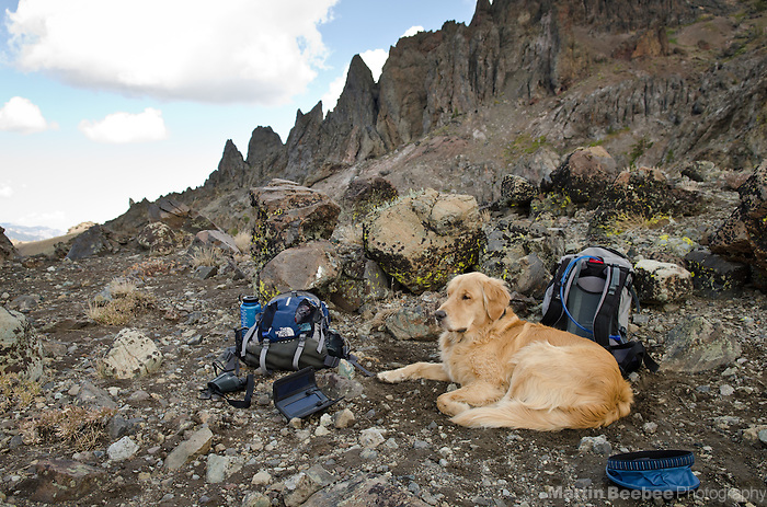 Dog (golden retriever) resting during a rugged hike in the Sierra Nevada mountains, Toiyabe National Forest, California