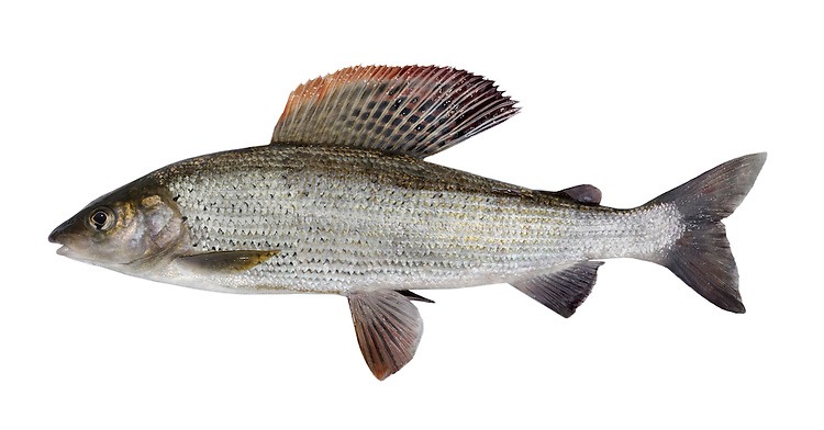Grayling Thymallus thymallus Length 30-50cm <br /> An attractive and distinctive fish found in unpolluted flowing water. Adult has a streamlined outline and silvery scales with a large and diagnostic dorsal fin; it also has a small adipose fin, a character shared by Salmon and trout. The Grayling is widespread and locally common in England and Wales (and introduced elsewhere), favouring fast-flowing streams and shallow rivers.