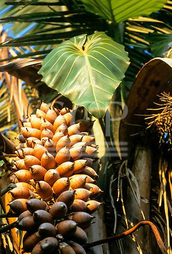 Tataquara, Xingu,  Brazil. Close-up of Babassu nuts on the tree (Orbignya speciosa). Para State.