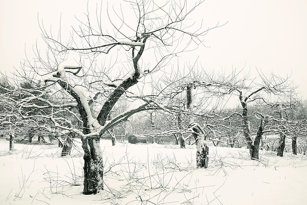Winter apple tree prunings at New Salem Preserves orchard in New Salem, MA